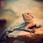 Bearded Dragon I by donnosch