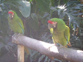 Two Military Macaws by SilverMoon-Archer