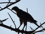 Road-side Hawk by SilverMoon-Archer