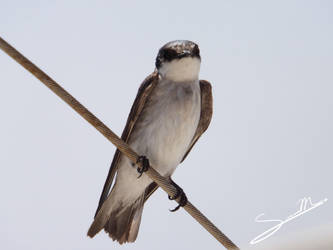 Mangrove Swallow by SilverMoon-Archer