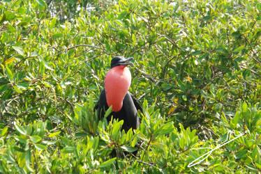Magnificent Frigatebird by SilverMoon-Archer