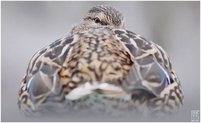 Birds - Mallard by NFB-Stock
