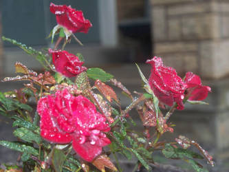 Roses with Raindrops by motek93