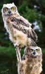 Raptor Workshop 11-05-2013 - Baby Owls by Lenore49