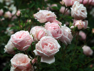 roses11 rockinDdesigns stock by debsrockine