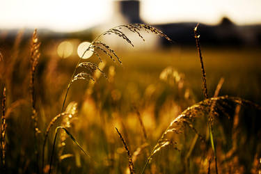 Gold wheat - D349 by neoflo