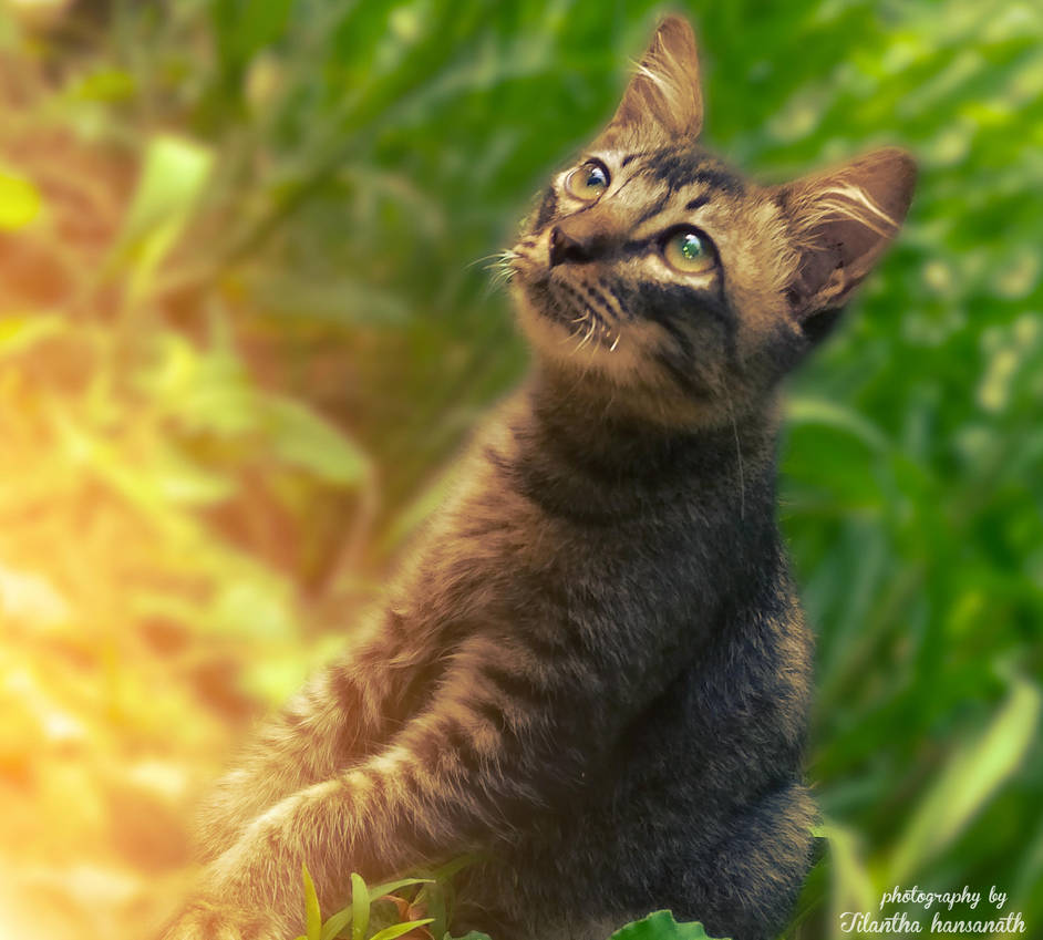 My Cat 1 by Tilantha-hansanath