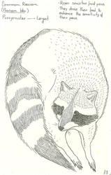 Raccoon by VanessaHolanda