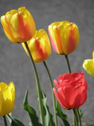 Tulips Light and Shadow by barkingcatslc
