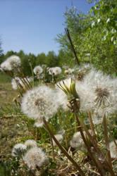 dandelions by hops-perfume