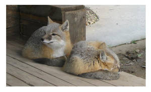 Swift Foxes by AbyssinianSphinxie