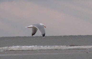 Animals 023 seagull by Dreamcatcher-stock