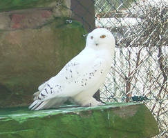 Animals 014 snowy owl by Dreamcatcher-stock