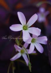 Purple Flowers by taqiyayaya