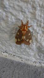 Royal Walnut Moth by IntuitiveMoth