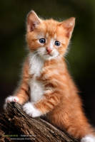 red kitten by vadalein