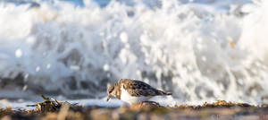 Ruddy turnstone in front of waves by headlesz