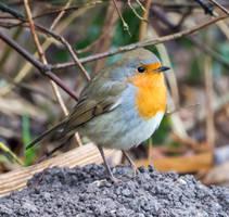European robin by headlesz