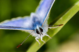 Lycaenidae by headlesz