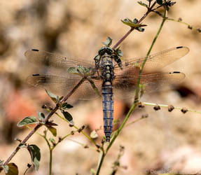 Dragonfly taking a break by headlesz
