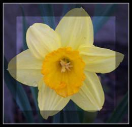 Daffodil II by she-stumbles