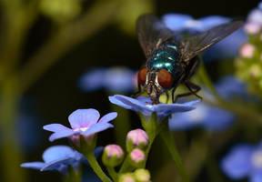 Bluebottle on flower 3 by Alliec