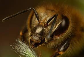 Honey Bee 6 by Alliec