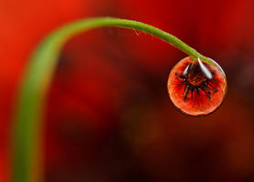 Dew Drop Refractions 5 by Alliec