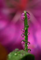 Dew Drop Refraction 21 by Alliec