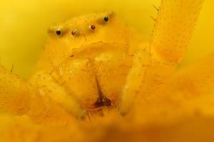 Crab Spider at x5 2 by Alliec