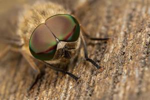 Horsefly eyes by Alliec