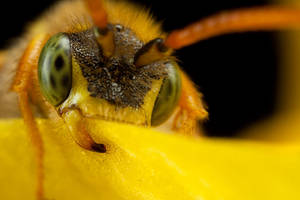 Green Eyed Nomada Bee by Alliec