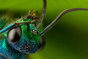 Ruby Tailed Wasp by Alliec