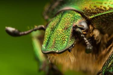 Chaffer Beetle by Alliec