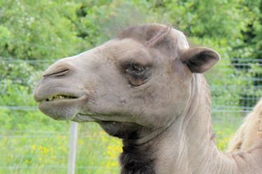 Elvis Camel by Artistic-Dodger