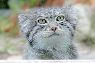 Pallas Cat by Artistic-Dodger