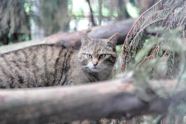 Scottish Wildcat by Artistic-Dodger