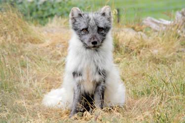 Arctic Fox II by Artistic-Dodger