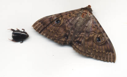 Moth and Beetle by serp-stock