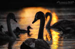 Swans from the series 1-6 ~ AStoKo by AStoKo