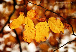 Yellow autumn leaves by AStoKo