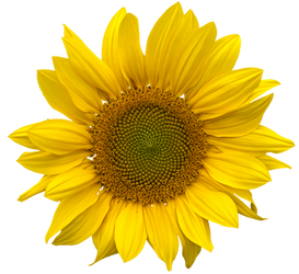 Sunflower png clearcut STOCK by AStoKo