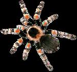 Tarantula Brachypelma smithi by AStoKo