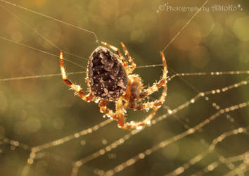 Kreuzspinne Araneus Cross Spider Macro by AStoKo by AStoKo