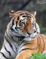 Resting Tiger by ZaraaLeanne