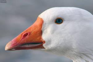 White Goose by ZaraaLeanne