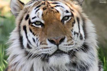 Eyes of A Tiger by ZaraaLeanne