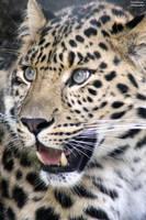 That Leopard Stare by ZaraaLeanne