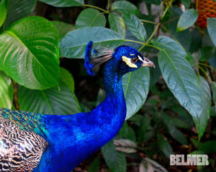 PAVO REAL by DARKPOLLUX
