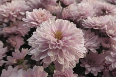 Pink flower by Minarya
